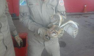Entre as capturas de animais silvestres mais frequentes realizadas pelo 3°GBM estão corujas, tamanduás e gambás.